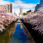 桜 東京は満開いつごろ?? 例年と比べてどうなんだろう??